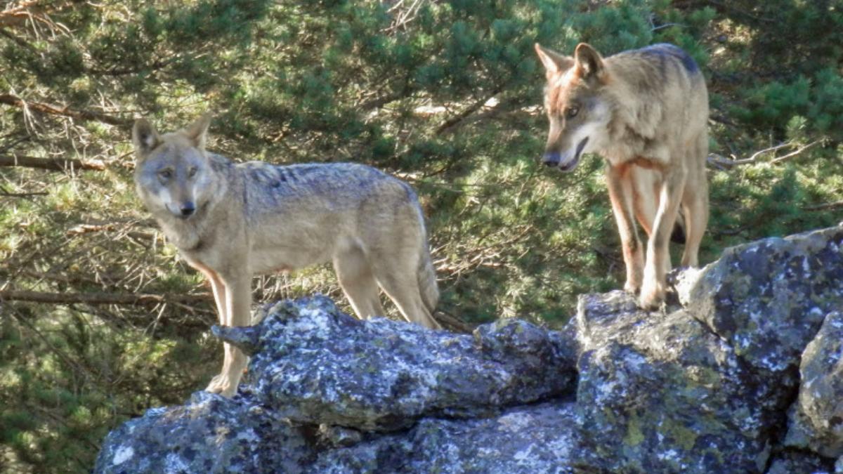 Zamora tierra de lobos por el camino de la plata