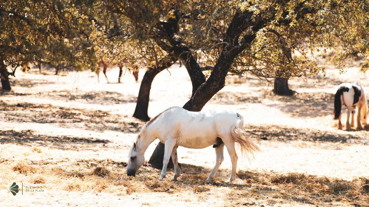 camino de la plata a caballo ecuestre